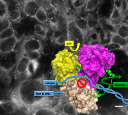 NS3 fluorescent inhibitor