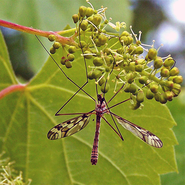"A Crane fly 3"" clinging to a wild grape flower"