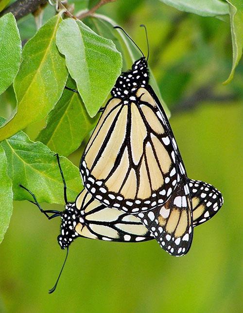monarch-4