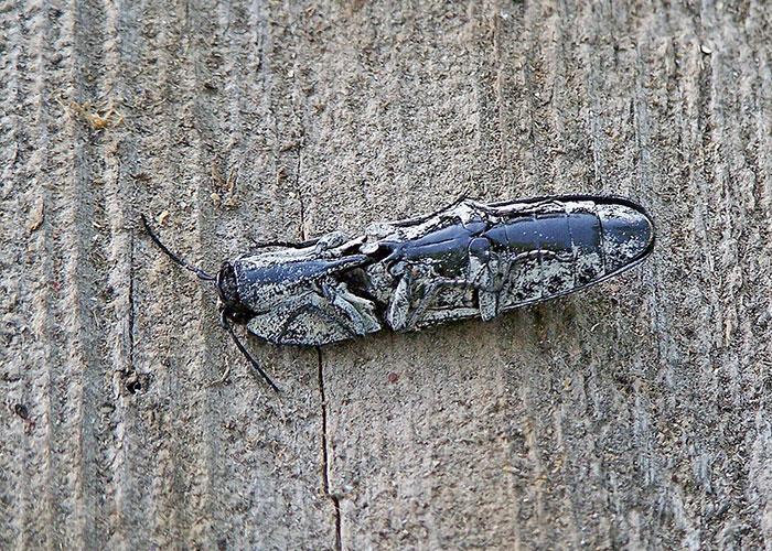 click-beetle-1