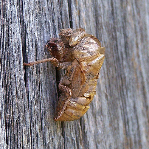cicada-3