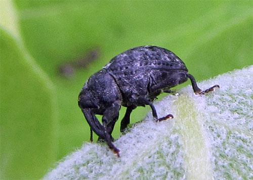 Milkweed stem weevils lay their eggs in milkweed stems