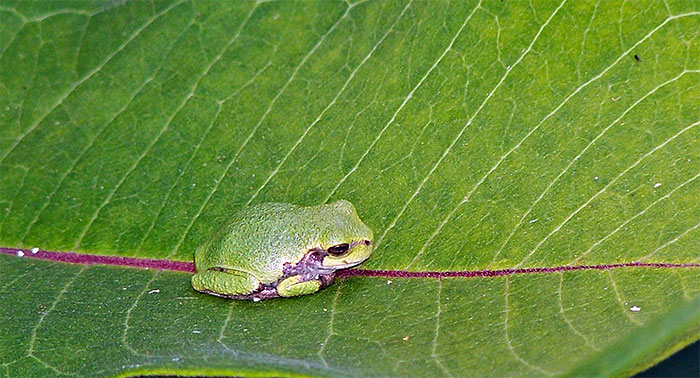 A gray tree frog sits on a milkweed leaf, hoping/hopping for a meal
