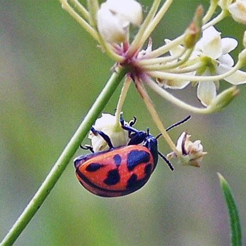 Swamp milkweed leaf beetles look like chunky, overgrown Ladybird beetles