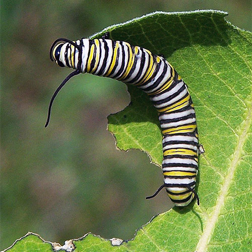 Monarch caterpillar – which is the front end?