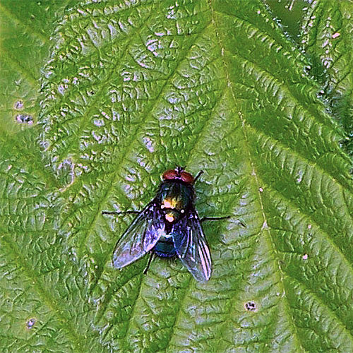 Greenbottle flies are lovely creatures