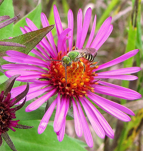 Some sweat bees look like cuckoo wasps, but the sweat bee's abdomen is striped