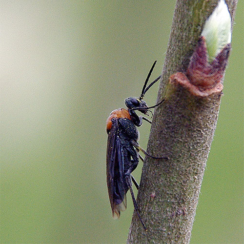 The sawfly is a primitive wasp