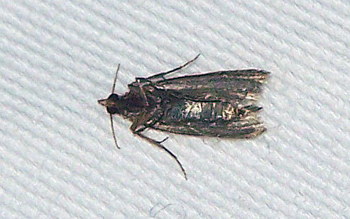This Meal moth shows the efficacy of a gentle tap to the solar plexus