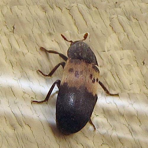 Dermestid Beetle Family Dermestidae Field Station