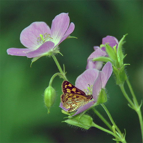Adults eat nectar from wild iris, wild geranium, and some other blue flowers plus a few species of bog plants