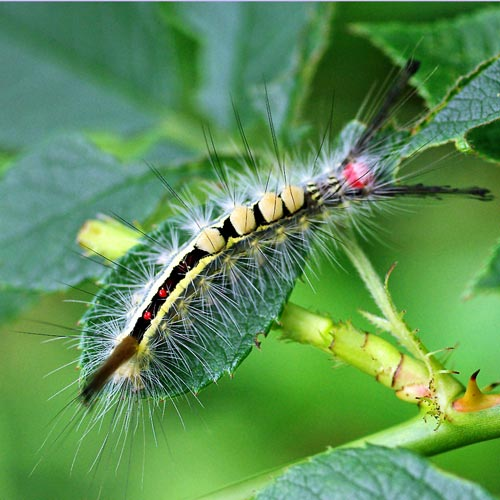 White-Marked Tussock Moth (Family Lymantriidae) | Field Station