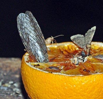 fishfly11-6rz