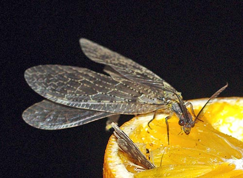 fishfly11-7brz
