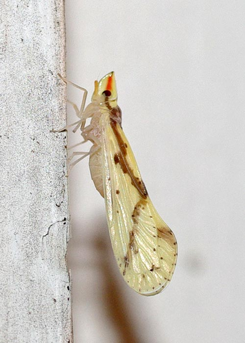 plnthppr-otiocerus11-2