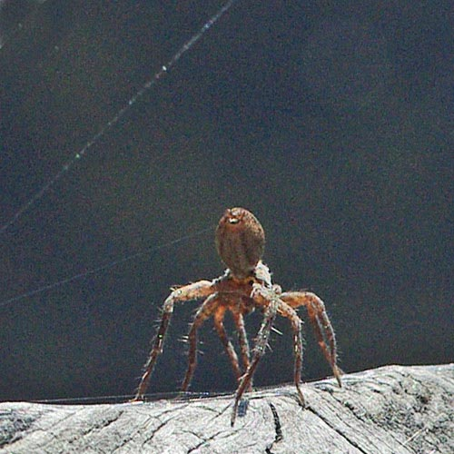 spiders-ballooning11-13brz