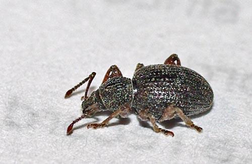 weevil-otiorhynchus-11-2b