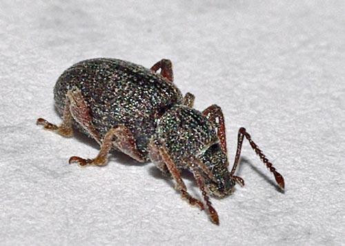 weevil-otiorhynchus11-5c