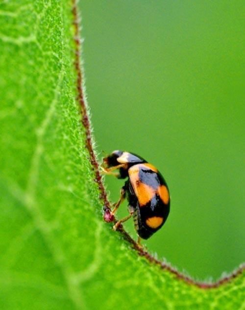 lady-btle-brachiacantha-ursina11-3b