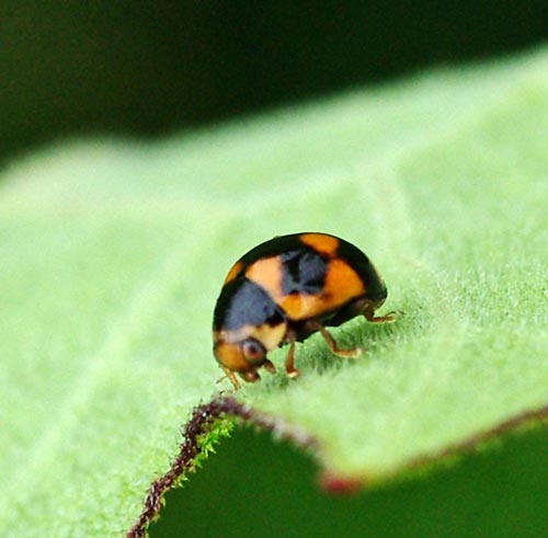 lady-btle-brachiacantha-ursina11-4b