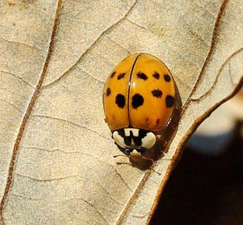 ladybug-asian10-6b