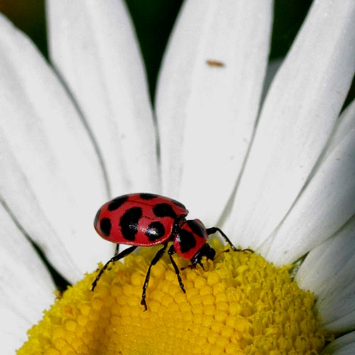 ladybug-pnk-spttd11-3