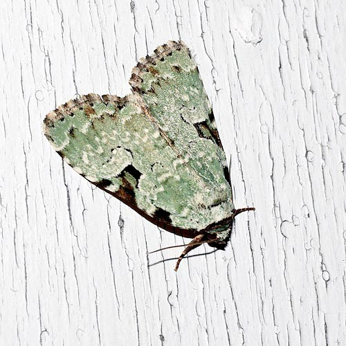 leuconycta-moth11-3rz