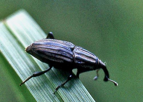 weevil-sphenophorus-scn-b