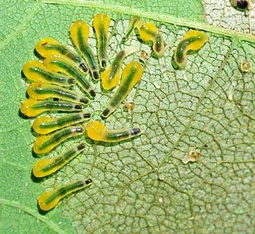 sawfly-slug11-2rz