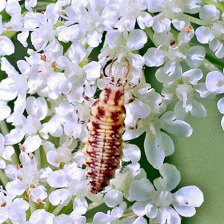 grn-lacewing-larva11-3rz
