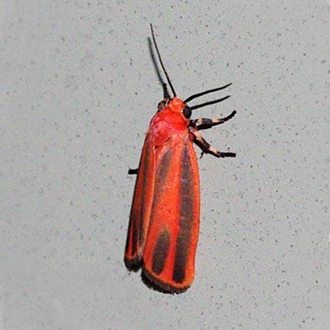 lichen-moth12-3