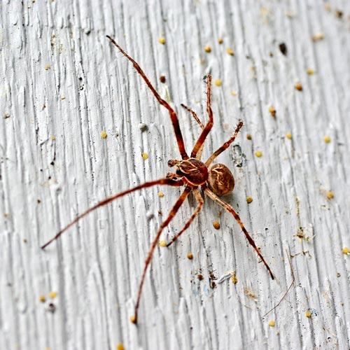 bridge-spider10-2rz