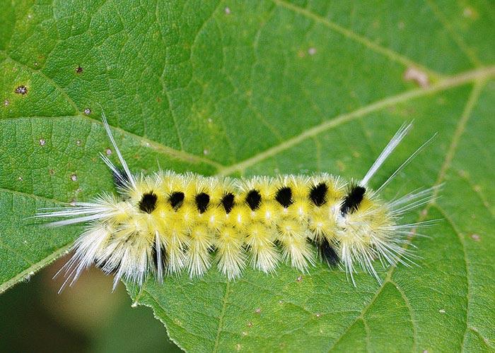 Fuzzy Fall Caterpillars (Family Erebidae) - Field Station