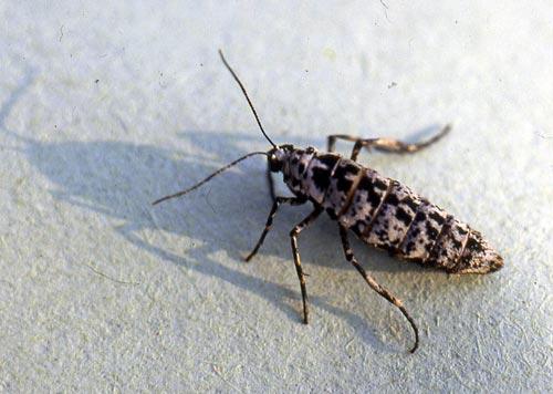 linden-looper-female-scn