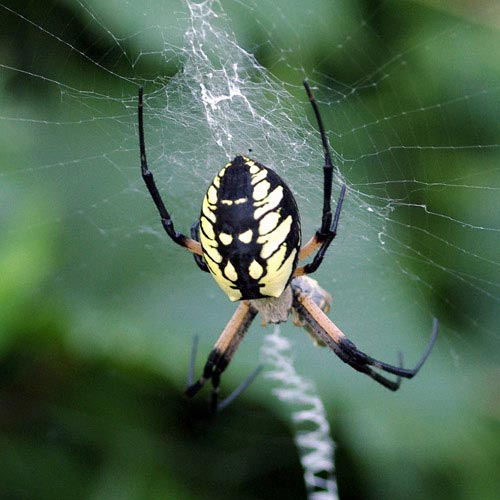 orb-wvr-black-yellow-argiope12-6rz