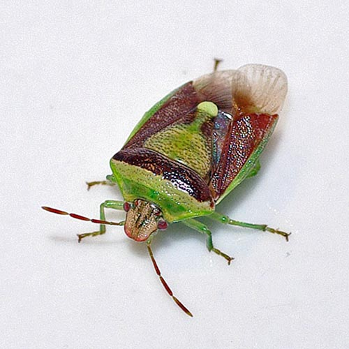 chr-redgreen-stinkbug12-3rz