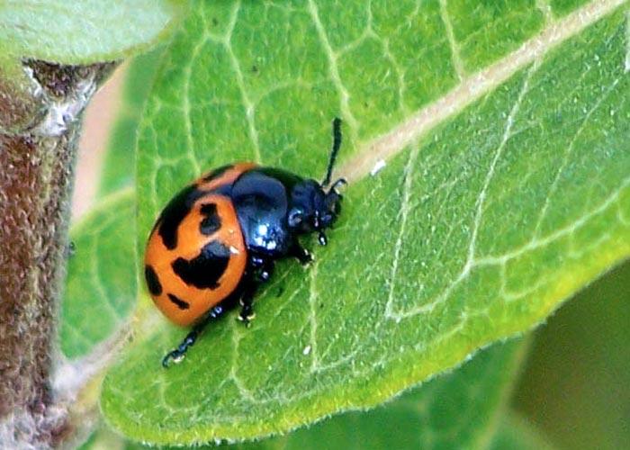 swmp-mlkwd-beetle-6