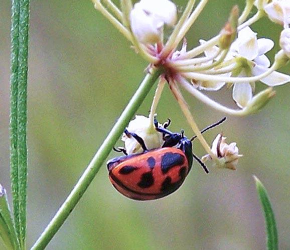 swmp-mlkwd-beetle