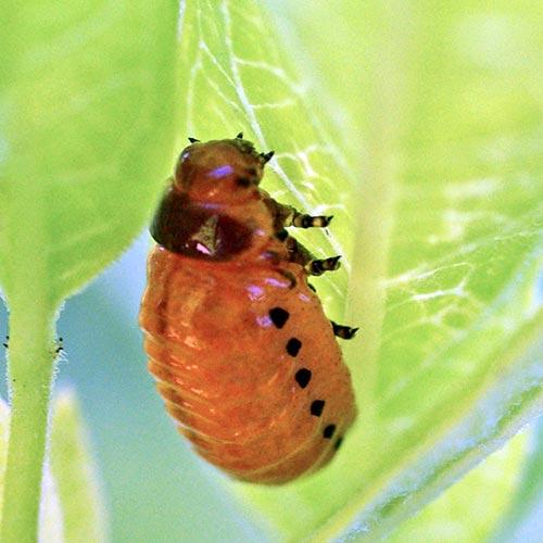 swmp-mlkwd-btle-larva10-1brz