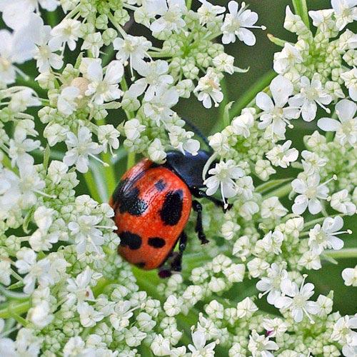 swmp-mlkweed-beetle11-1brz