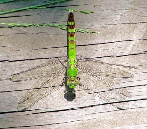 e-pondhawk-female07-1rz
