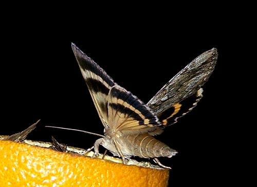 underwing-x%2c-orange08-b