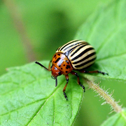 Colorado Potato Beetle (Family Chrysomelidae)