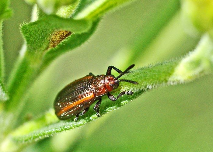 microrhopala-leaf-beetle12-2rz