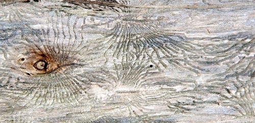 bark-beetle09-2sm