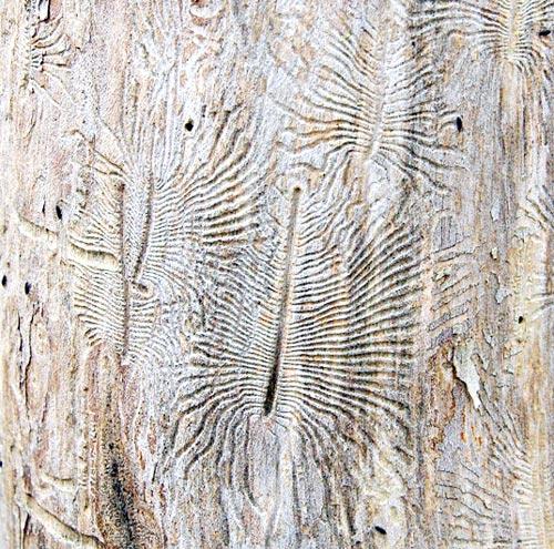 bark-beetle10-6bsm