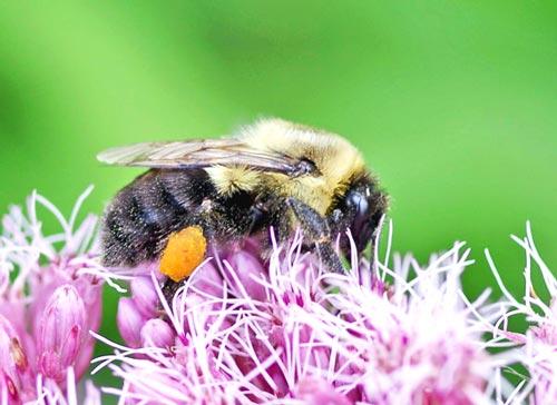 bumblebee-brn-bltd13-15rz