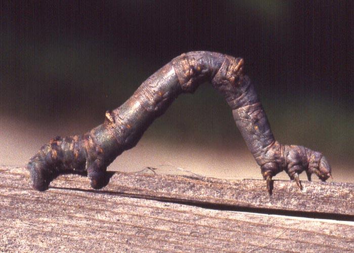mimesis-inchworm-1rz