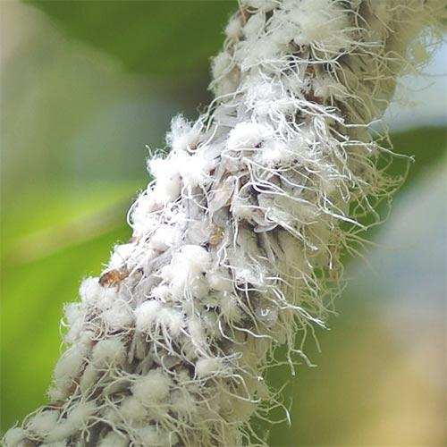 beech-blight-aphid-13-3rz