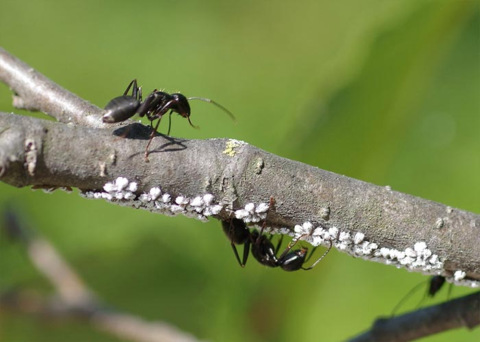 wooly-alder-aphid-ant14-4rz
